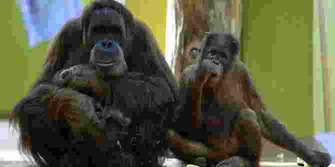 Enam Orangutan Dilepas Di Pulau Badak Kecil