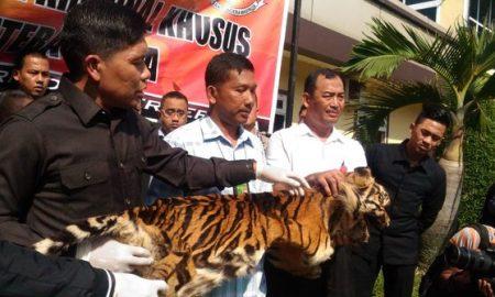 Pak Wito Ditangkap Karena Menjual Kulit Harimau