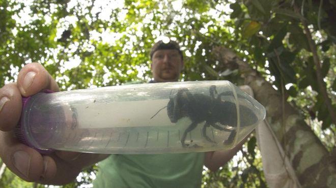 Lebah Terbesar Ditemukan Masih Hidup